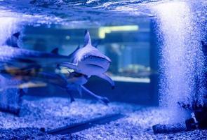 onderwaterbeeld van kleine haaien die in aquarium in oceanarium zwemmen foto
