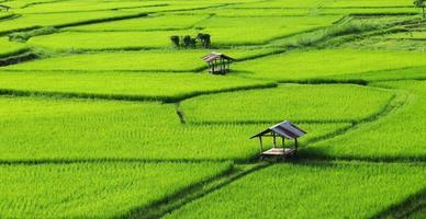 groene rijstvelden in het regenseizoen foto