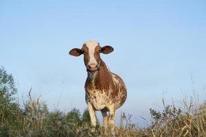 close-up van mooie bruin en wit gevlekte Nederlandse koe foto