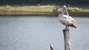 pelikaanvogel die voor het meer staat. foto