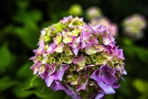 2021 07 04 valli del pasubio hortensia macrophylla 1 foto