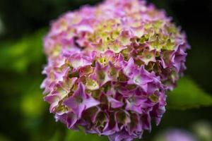 2021 07 04 valli del pasubio hortensia macrophylla foto