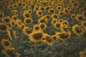 zonnebloem bloeien in de boerderij met zonlicht foto