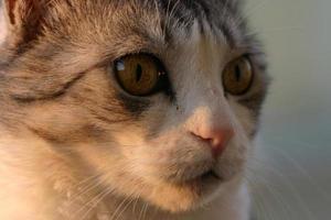 kat wacht op het juiste moment om de prooi aan te vallen. foto
