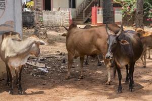 heilige koeien in agonda beach, goa, india foto