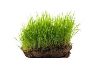 rijstzaailingen op een kluit aarde foto