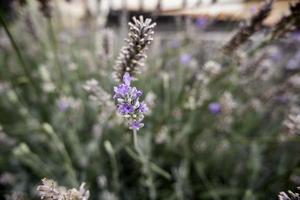 wilde lavendel bloemen foto
