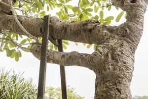 grote oude plumeria obtusa frangipani boom tropisch maleisië. foto