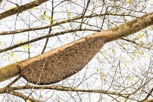 apis dorsata gigantische honingbij nest perdana botanische tuinen, maleisië. foto