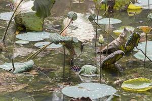 droog tropisch vijvermeer met waterplanten, perdana botanische tuin. foto