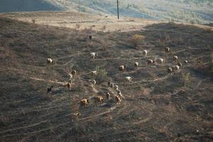 kudde koeien grazen in een vallei foto