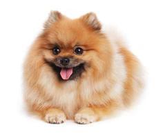 spitz puppy leugens foto