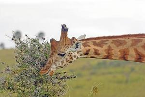 Rothchild's giraffe eet acaciabladeren foto