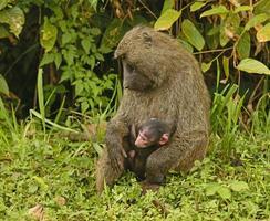 olijfbaviaan moeder en baby foto