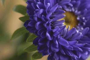 close-up van een prachtige paarse zonnebloem foto