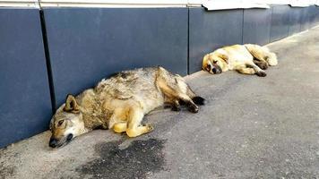 honden op straat. twee zwerfhonden liggen op het asfalt in de buurt van foto