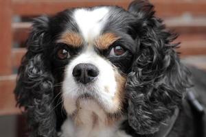 king charles type lange oren, tamme huishond foto