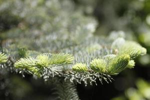 achtergrondafbeeldingen van dennenboom voor grafisch werk. foto