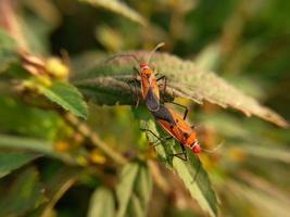 twee rode insecten met lange zwarte poten broeden op groene bladeren foto