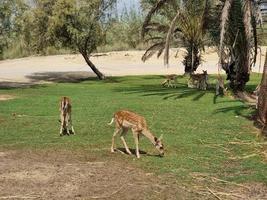 het hert in de savanne foto