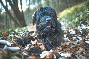 bergherdershond tussen herfstbladeren foto