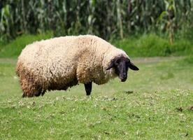 gedomesticeerde schapen in het groeiseizoen voor verkoop en consumptie van vee, het fokken van boerderijdieren voor verkoop en consumptie foto