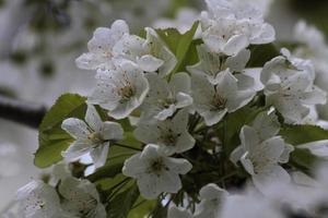 de bloemen van de kersenboom bloeien in de lente. foto