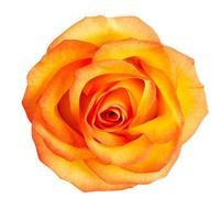 knop van gele rozen foto