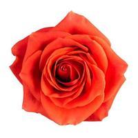 knop van een scharlaken roos foto