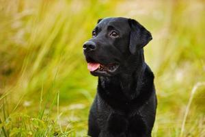 zwarte labrador op een achtergrond van gras foto