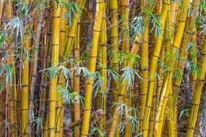 groen geel bamboe bomen tropisch bos san jose costa rica. foto