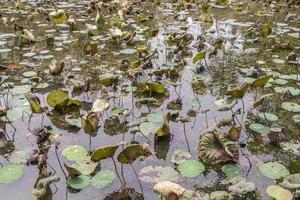 tropisch vijvermeer met waterplanten, perdana botanische tuin, maleisië. foto