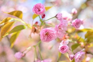 mooie kersenbloesem sakura in het voorjaar over blauwe lucht foto