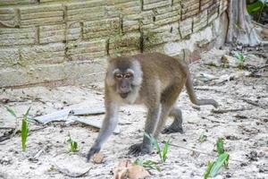 makaak aap in tropisch oerwoud in koh phayam, thailand foto