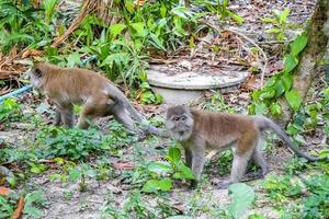 makaken apen in tropisch oerwoud in koh phayam, thailand foto