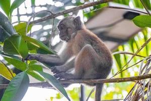 makaak aap zittend op een boom, koh phayam, thailand foto