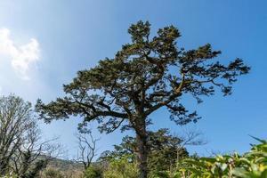 oude torenhoge bomen met kronkels en bochten van stam foto