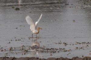 Koereigers blijven in de velden om te eten, te rusten en te vliegen foto