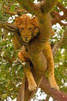 jonge mannelijke leeuw die in een boom rust foto