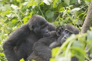 berggorilla die een andere gorilla verzorgt foto