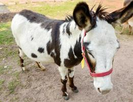 tweekleurige dongkey-standaard op de achtergrond van de boerderijnatuur foto