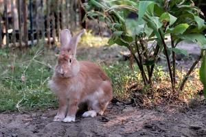 lokaal konijn met dikke bruine kleur foto