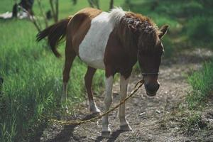 bruin en wit paard vastgebonden aan een geïmproviseerde lijn langs de rand van een bos foto