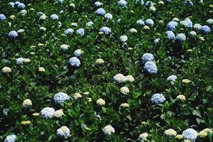 hortensia bloemen bloeien in de tuin van dalat foto