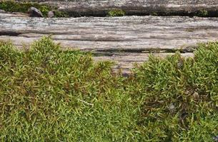 moss plantae bryophyta plant groeit op boom foto