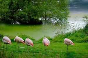 kudde Chileense flamingo's aan de groene oevers van de visvijver in het Harewood House Trust-gebied in West-Yorkshire foto