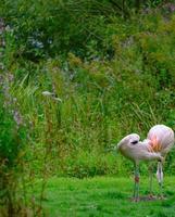 twee Chileense flamingo's aan de groene oevers van de visvijver in het Harewood House Trust-gebied in West-Yorkshire foto