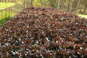 plantaardige groene eik groeit in hydrocultuursysteem van pvc-pijpen foto