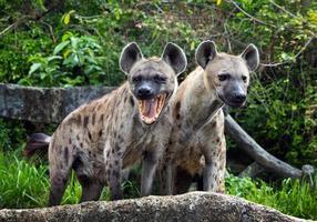 familie gespot hyena in het wild. foto