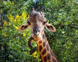 hoofd en nek van een giraf in de wilde natuur. foto
